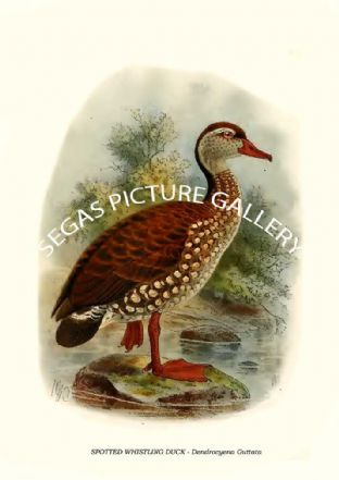 SPOTTED WHISTLING DUCK - Dendrocyena Guttata